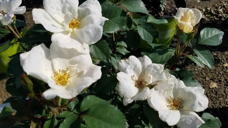 Rosa 'Radwhite' (PP20,273) THE WHITE KNOCK OUT® ROSE