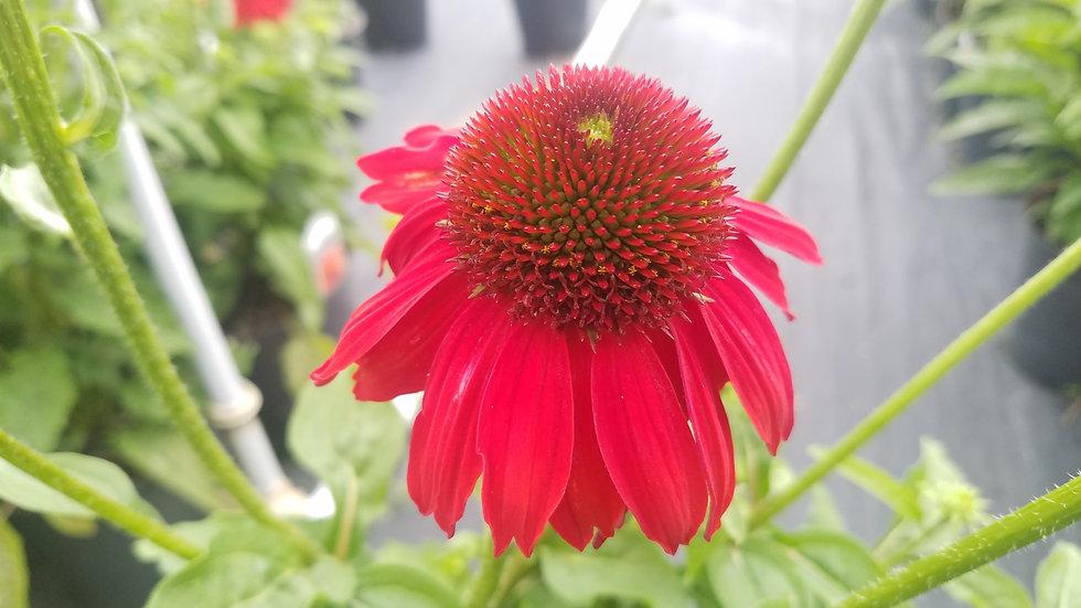 Echinacea 'Balsomsed' (PP 23,105)  SOMBRERO® SALSA RED CONEFLOWER