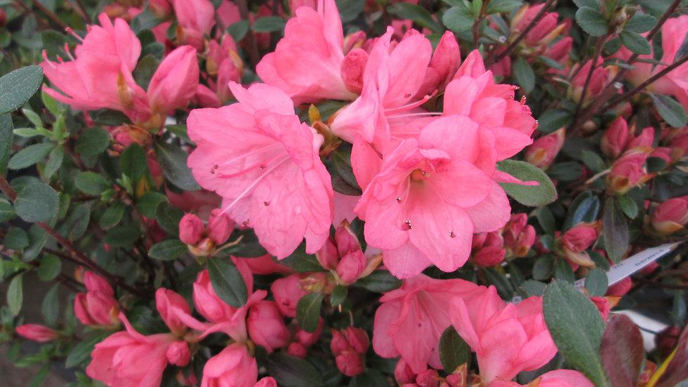 Azalea kurume 'Blaauw's Pink' BLAAUW'S PINK AZALEA