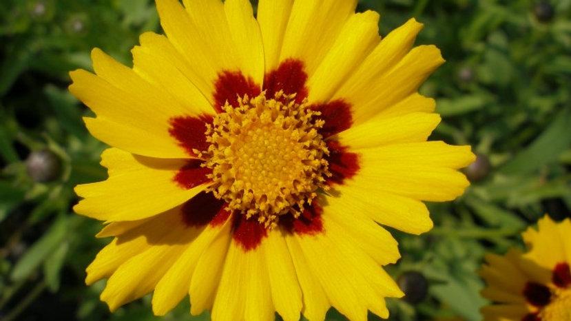 Coreopsis grandiflora 'Baby Sun' BABY SUN TICKSEED