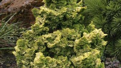 Chamaecyparis obtusa 'Nana Lutea' GOLDEN DWARF FALSE CYPRESS