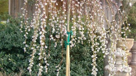 Salix caprea pendula WEEPING PUSSY WILLOW