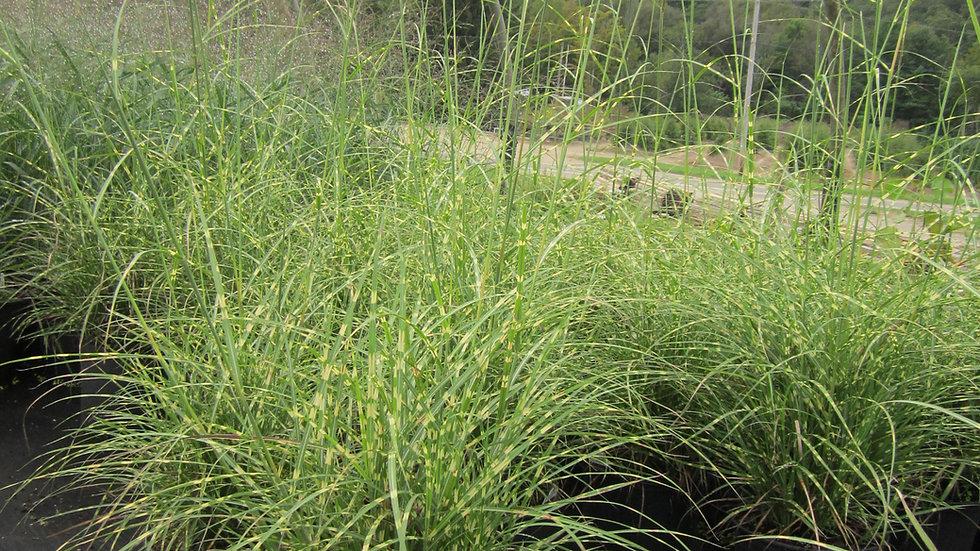 Miscanthus sinensis 'Litte Zebra' (PP 13,008) LITTLE ZEBRA MAIDEN GRASS