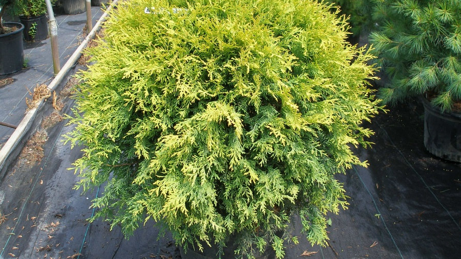 Thuja occidentalis 'Aurea' GOLDEN GLOBE ARBORVITAE