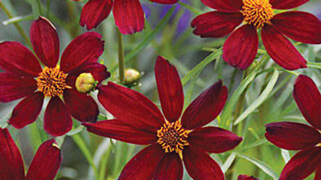 Coreopsis rosea 'Red Satin' (PPAF) RED SATIN TICKSEED