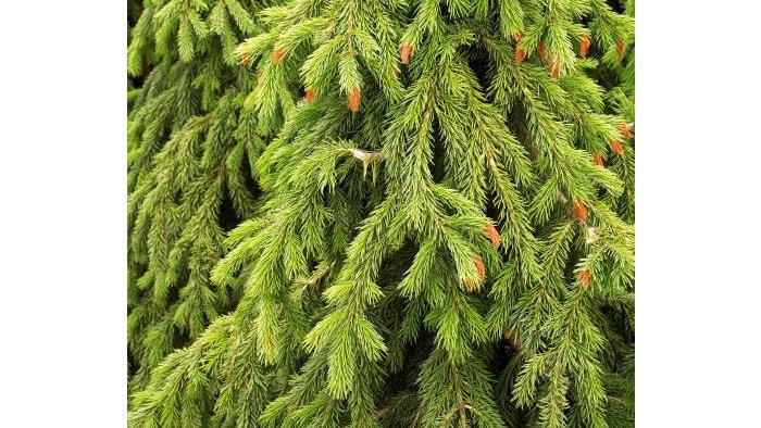Picea glauca 'Wells' Weeper'  WELLS' WEEPER SPRUCE