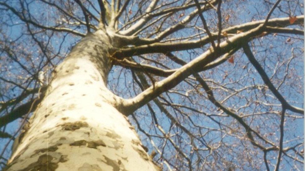 Platanus x acerifolia 'Bloodgood' BLOODGOOD LONDON PLANE TREE