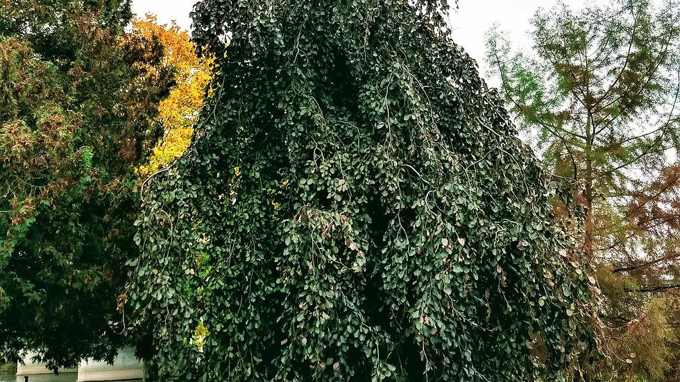Fagus sylvatica pendula 'Purple Fountain' PURPLE FOUNTAIN WEEPING BEECH
