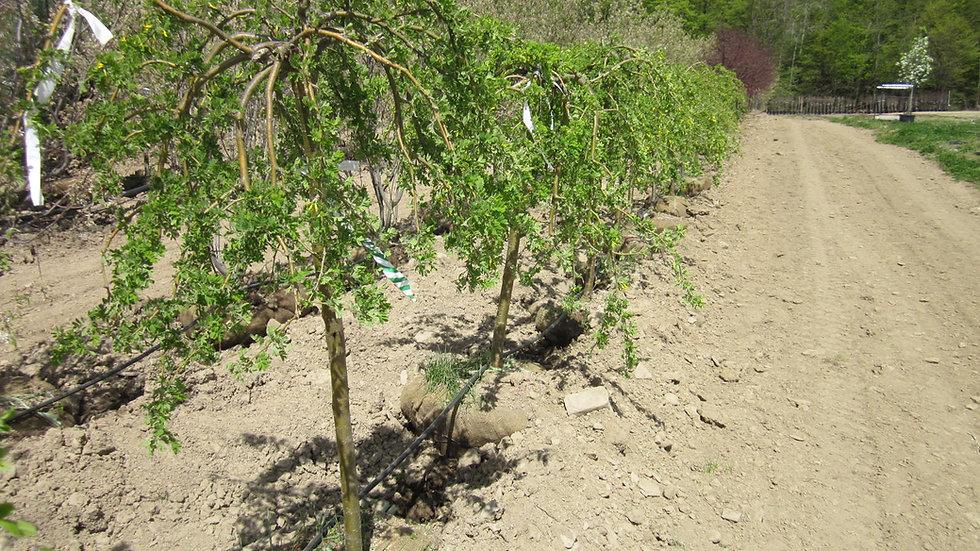 Caragana arborescens 'Pendula' WEEPING SIBERIAN PEA TREE