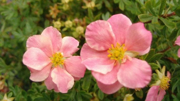 Potentilla fruticosa 'Pink Beauty' (PP 9,874) PINK BEAUTY POTENTILLA