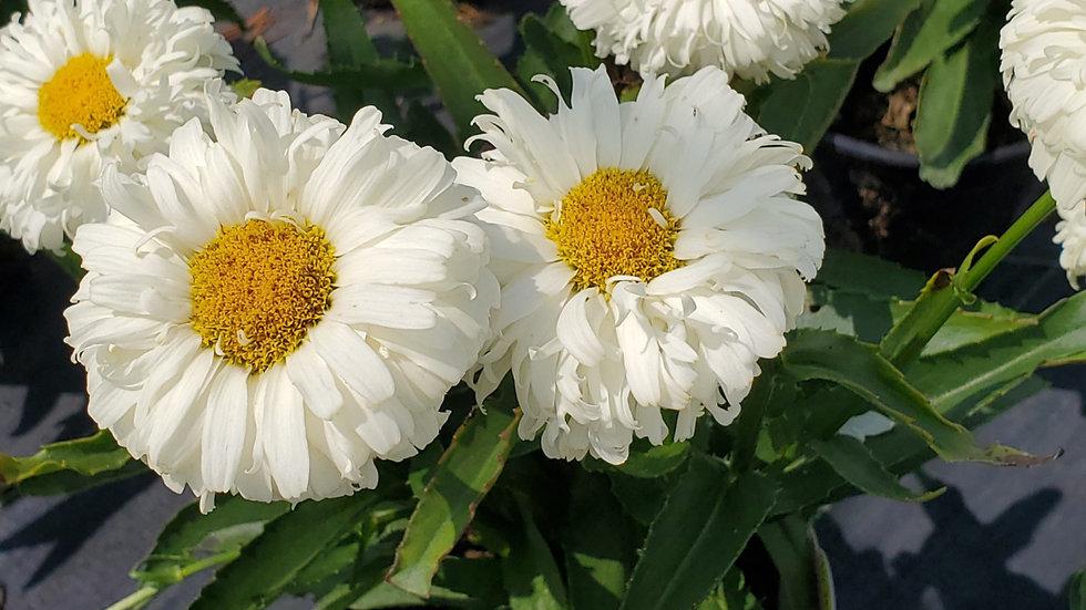 Leucanthemum x superbum 'Macaroon'  (PP 26,905) MACAROON SHASTA DAISY