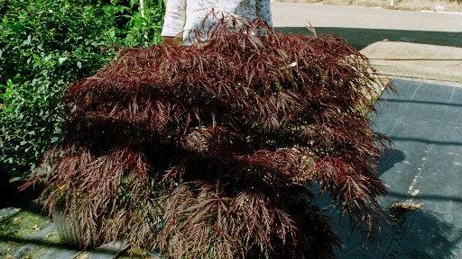 Acer palmatum dissectum 'Crimson Queen' CRIMSON QUEEN LACELEAF JAPANESE MAPLE