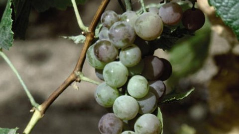Vitis 'Concord Seedless' CONCORD SEEDLESS GRAPE