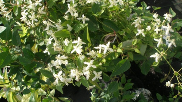 Clematis paniculata SWEET AUTUMN CLEMATIS
