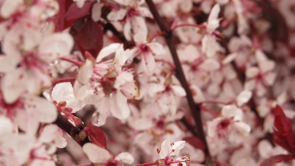Prunus x cistena PURPLELEAF SANDCHERRY/ CISTENA PLUM
