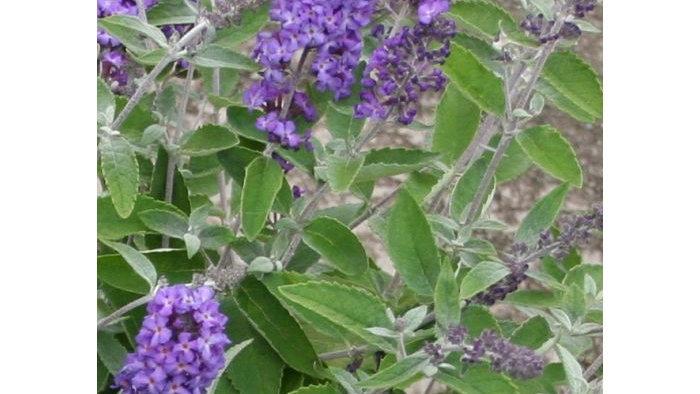 Buddleia x 'Podaras #8'(PP 22,069) BLUE HEAVEN FLUTTERBY PETITE® BUTTERFLY BUSH