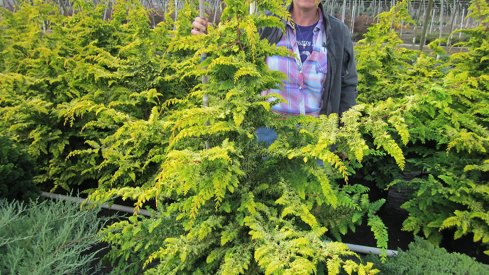 Chamaecyparis obtusa 'Filicoides Gold' FERNSPRAY GOLD FALSE CYPRESS