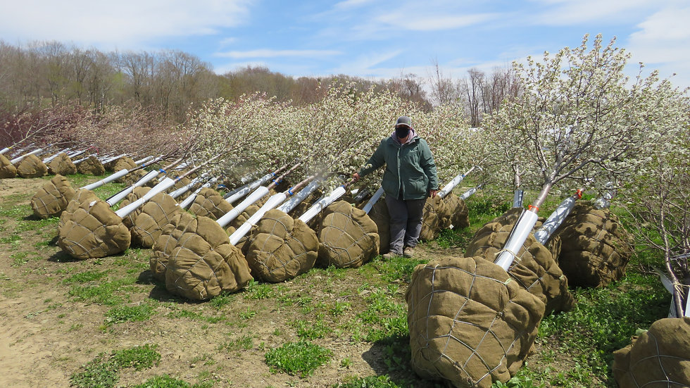 Pyrus calleryana 'Cleveland Select' CLEVELAND SELECT PEAR