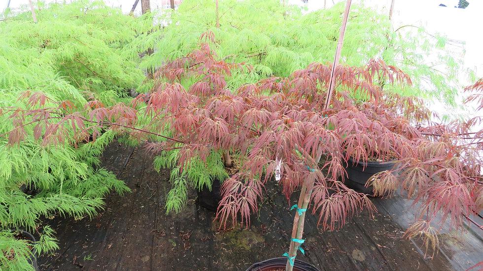 Acer palmatum dissectum 'Tamukeyama' TAMUKEYAMA LACELEAF JAPANESE MAPLE