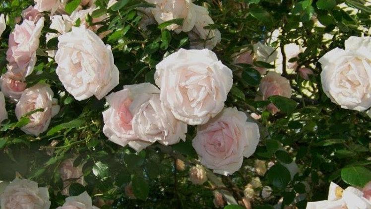Rosa 'New Dawn' NEW DAWN CLIMBING ROSE