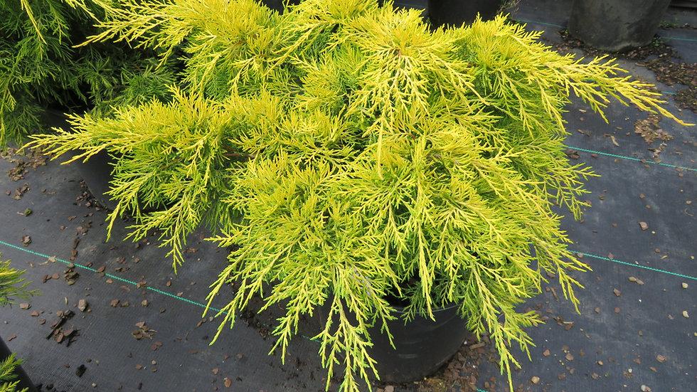 Juniperus chinensis 'Saybrook Gold' (PP 5,014) SAYBROOK GOLD JUNIPER