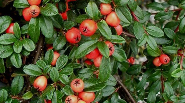 Cotoneaster dammeri 'Coral Beauty' CORAL BEAUTY COTONEASTER