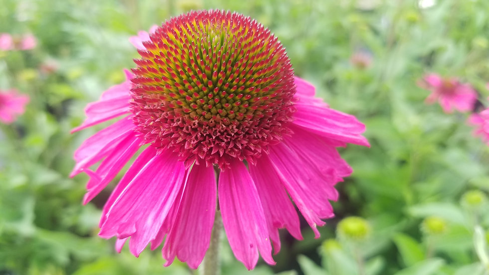 Echinacea 'Delicious Candy' (PPAF) DELICIOUS CANDY FUCHSIA CONEFLOWER