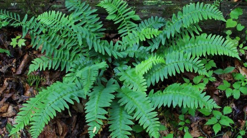Polystichum acrostichoides CHRISTMAS FERN