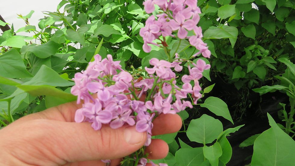 Syringa x hyacinthiflora 'Pocahontas' POCAHONTAS LILAC