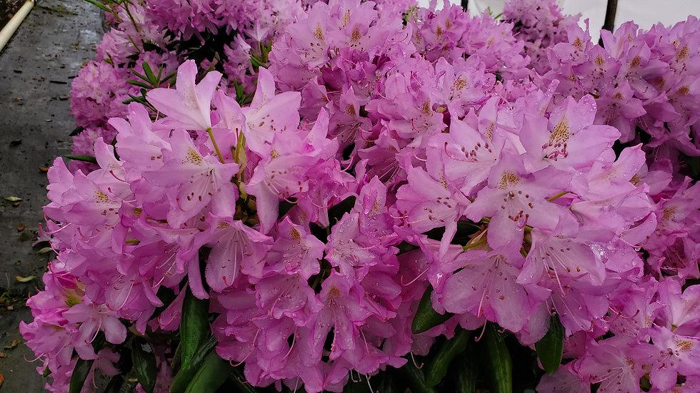 Rhododendron catawbiense 'English Roseum' ENGLISH ROSEUM RHODODENDRON