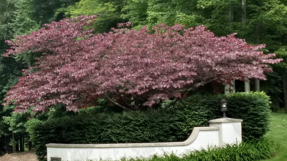 Cercis canadensis 'Forest Pansy' FOREST PANSY REDBUD