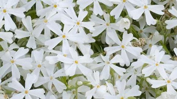 Phlox subulata 'White Delight' WHITE DELIGHT CREEPING PHLOX