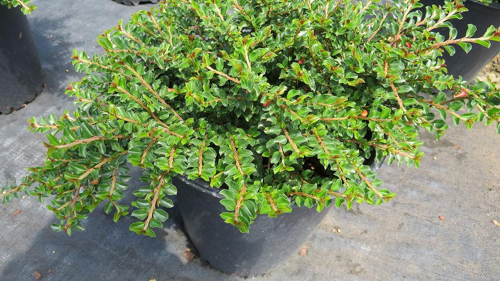 Cotoneaster adpressus 'Tom Thumb' TOM THUMB CREEPING COTONEASTER