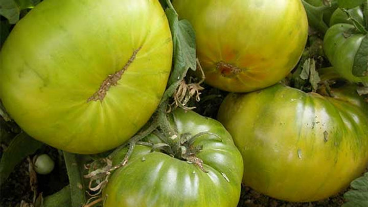 Tomato 'Aunt Ruby's' AUNT RUBY'S GERMAN GREEN TOMATO