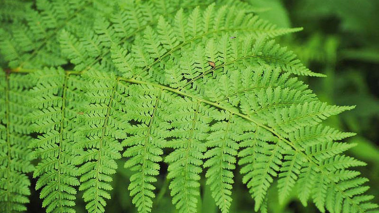 Dryopteris carthusianna TOOTHED WOOD FERN