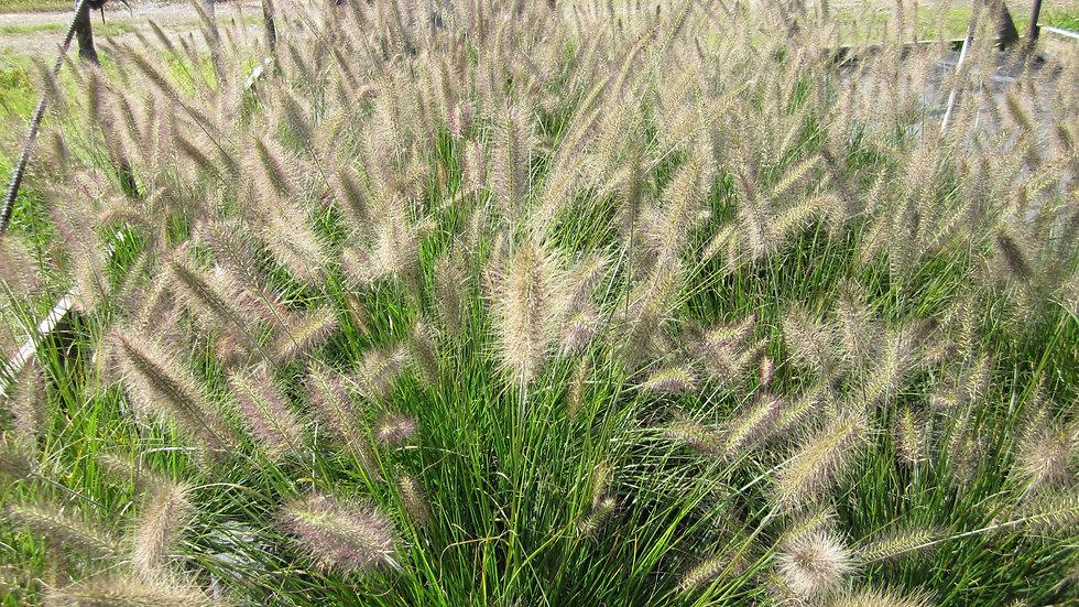 Pennisetum alopecuroides 'Hameln' DWARF FOUNTAIN GRASS