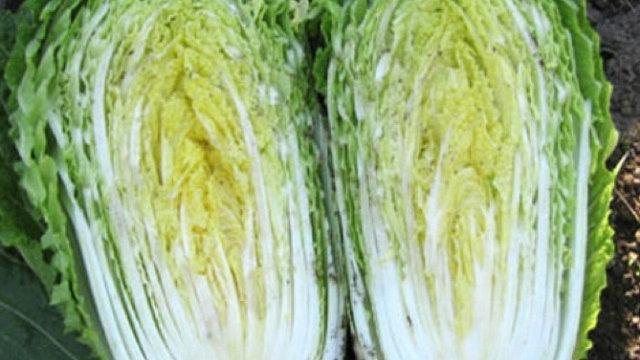 Brassica rapa pekinensis 'Michihli' MICHIHLI CHINESE CABBAGE