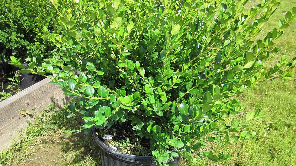 Buxus microphylla koreana 'Wintergreen' WINTERGREEN BOXWOOD