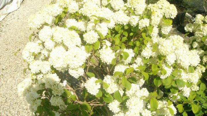 Viburnum plicatum 'Newzam' NEWPORT(R) DWARF DOUBLEFILE VIBURNUM