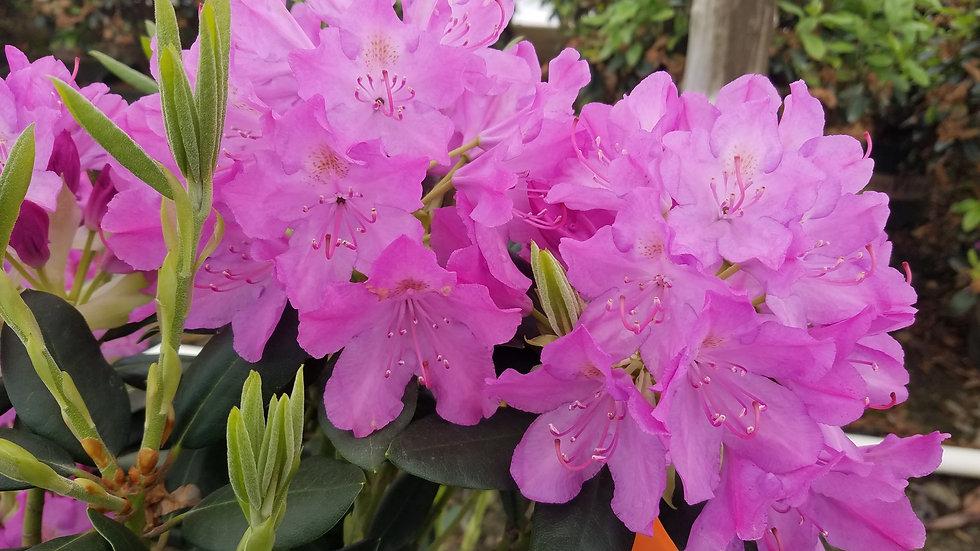 Rhododendron catawbiense 'Roseum Elegans' ROSEUM ELEGANS RHODODENDRON