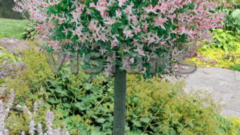 Salix integra 'Hakuro Nishiki' HAKURU NISHIKI WILLOW