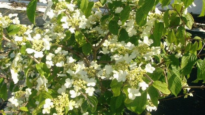 Viburnum plicatum tomentosum 'Mariesii' MARIES DOUBLEFILE VIBURNUM