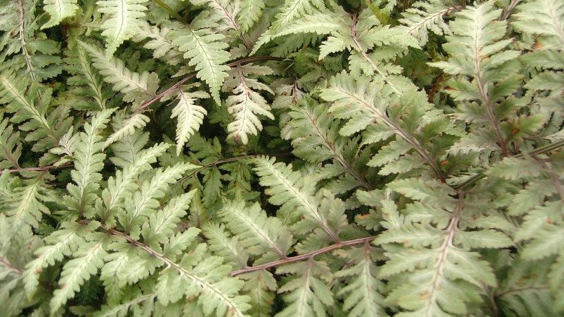 Athyrium niponicum 'Pictum' JAPANESE PAINTED FERN