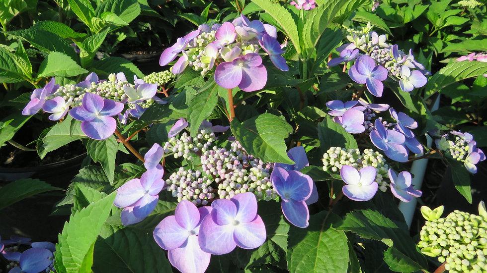 Hydrangea mac 'PIIHM-I' (PP 20,176) ENDLESS SUMMER® TWIST-N-SHOUT® HYDRANGEA