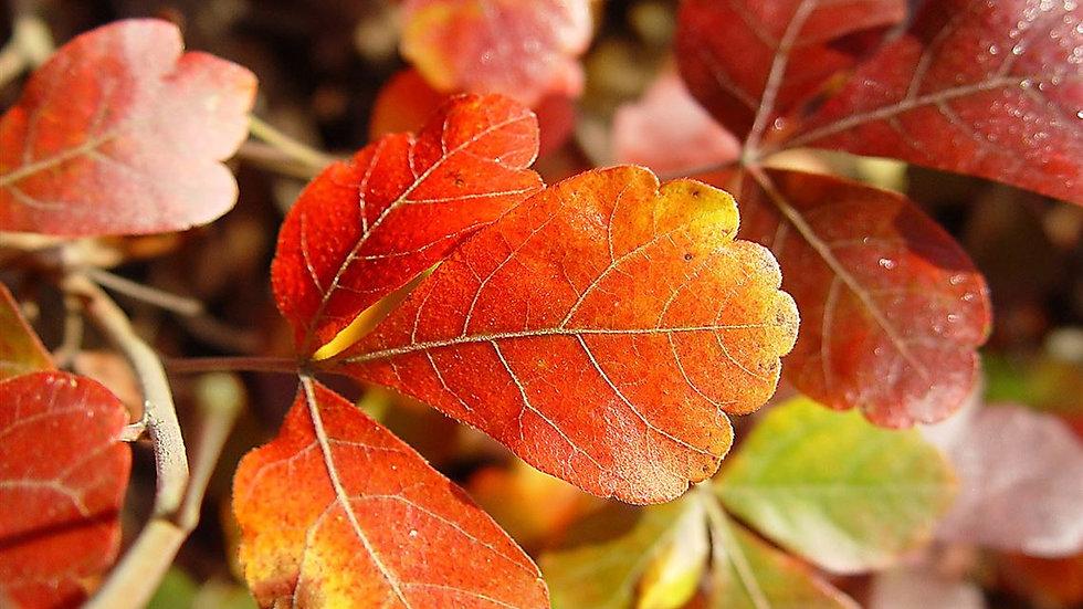 Rhus aromatica 'Gro-low' GRO-LOW FRAGRANT SUMAC