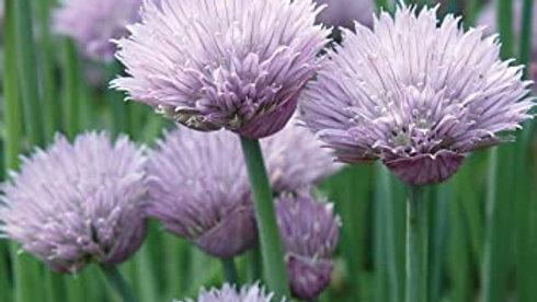 Allium schoenoprasum COMMON CHIVES