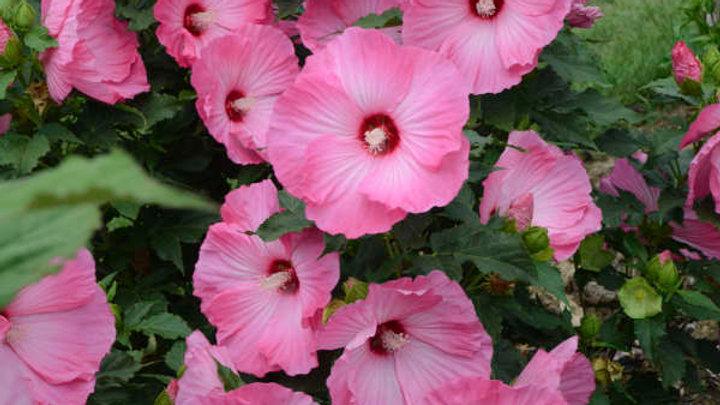 Hibiscus 'Airbrush Effect' (PP 29,295) AIRBRUSH EFFECT HARDY HIBISCUS