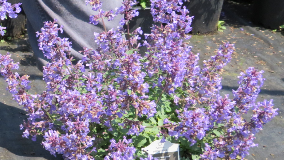 Nepeta faassenii  'Kitten Around' (PP 30,940) KITTEN AROUND CATMINT
