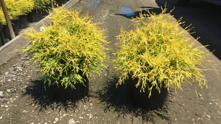 Chamaecyparis pisifera filifera 'Golden Mop' GOLDEN MOP THREADLEAF FALSE CYPRESS
