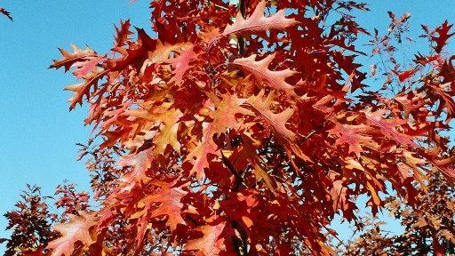 Quercus rubra 'Red Oak' RED OAK